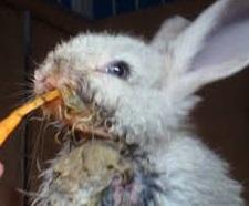penyakit kembung dan mencret pada kelinci