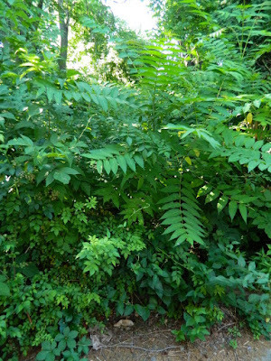 Tree of Heaven Saplings in an East York Toronto Backyard by Paul Jung Gardening Services