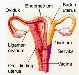 Kunci Jawaban Ovarium Adalah Tempat Terjadinya Rofa Education Centre