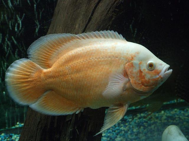 lemon oscar fish - photo #24