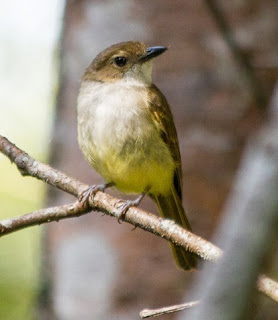 Suara Burung Kancilan Perut Kuning
