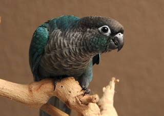 Q: Green Cheek Conure Aggressive Behavior? – Green Cheek Conure