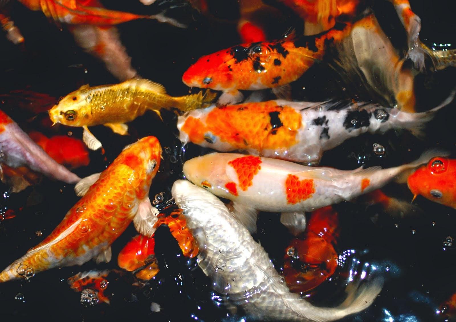 Jual Ikan Hias Koi di Bali: Tips | Cara Memelihara Ikan ...