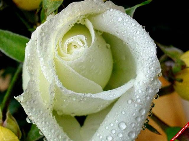 hoa hong trang dep nhat the gioi