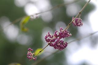 屋久島の植物、トサムラサキの実