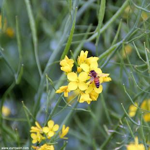 Abeja sobre una flor de colza
