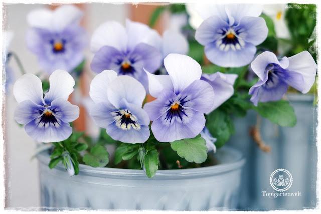 Gartenblog Topfgarenwelt Ostern: Hornveilchen als Frühlingsdeko
