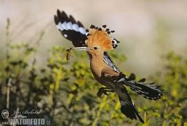 Abubilla volando