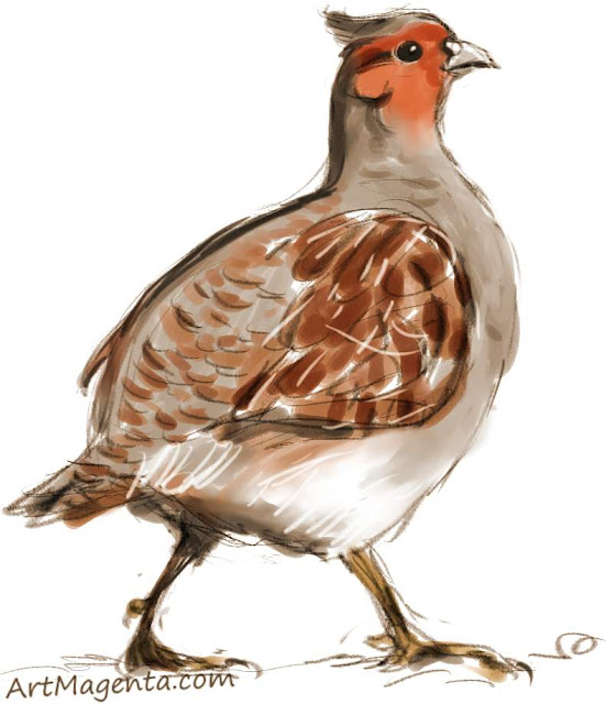 Grey Partridge sketch painting. Bird art drawing by illustrator Artmagenta.