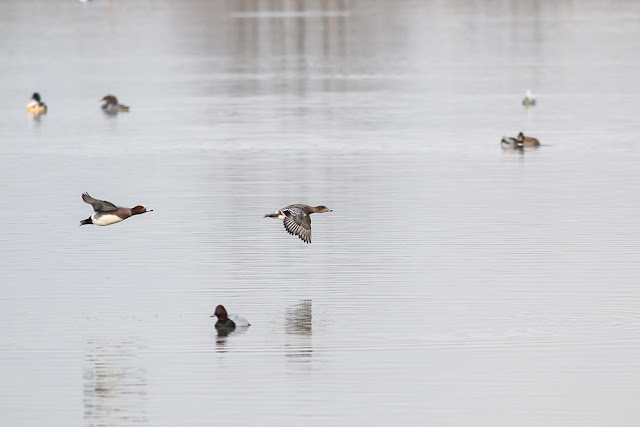 Wigeon in Flight, with Goosander and Pochard