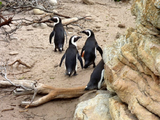 African penguin population has declined by 90 percent since the turn of the 20th century.