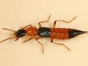 Serangga sebagai Hama