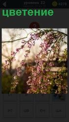 На фоне небольшого домика пышное цветение весной красивого с розовыми листочками