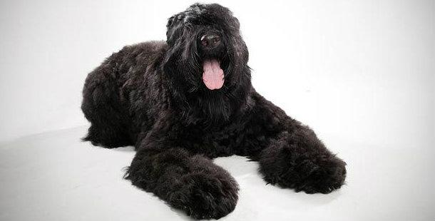 chien de garde russe chien de garde. Black Bedroom Furniture Sets. Home Design Ideas