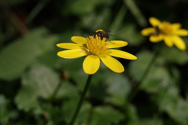 Celidonia menor,  Ranunculus ficaria o ficaria verna en un prado de Asturias a unos 600 metros de altitud, en la montaña central