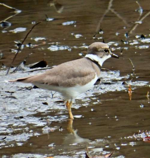 Birds of India - Photo of Long-billed plover - Charadrius placidus