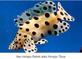 Ikan Kerapu/Kerapu Tikus