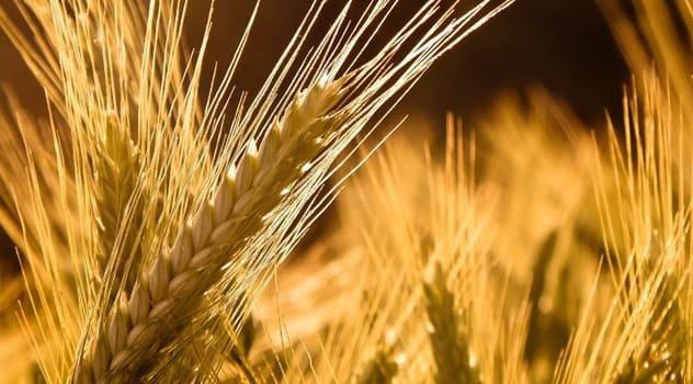 تحديد سعر القمح بـ 175 ليرة والشعير بـ 130 ليرة