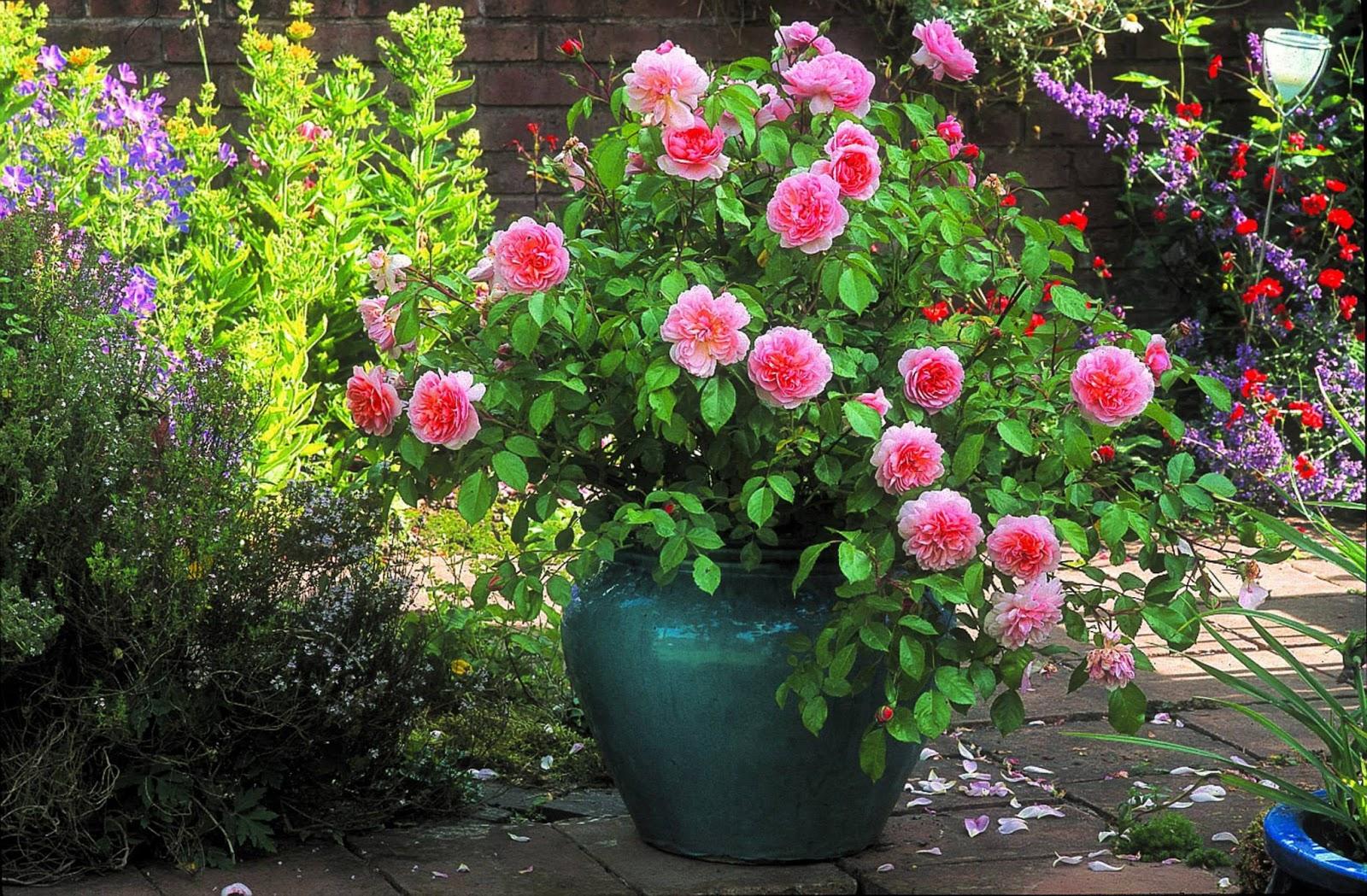 rosal inglés en maceta de barro