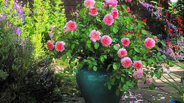 El encanto de las rosas en macetas y contenedores
