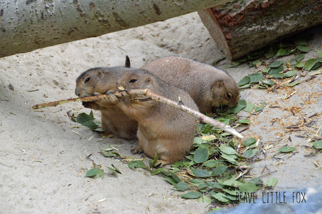 Präriehunde Erlebnis-Zoo Hannover