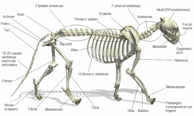 Cat Skeleton System