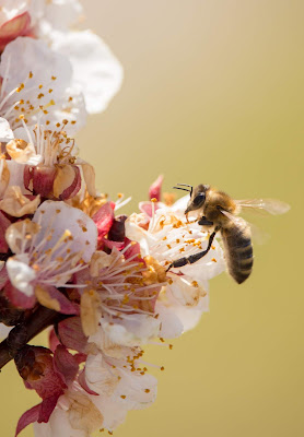 Close-up of a bee on white, pink and yellow flowers. Photo by Janosch Digglemann on Unsplash