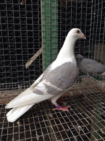 Pigeon Racing in Philippines- The Next Big Thing: Dominant