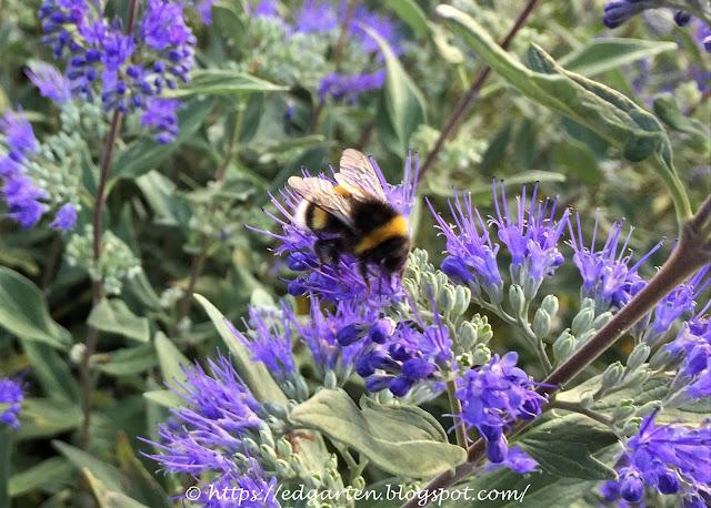 Hummel auf blau blühenden Blumen