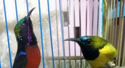 ramuan kolibri agar gacor
