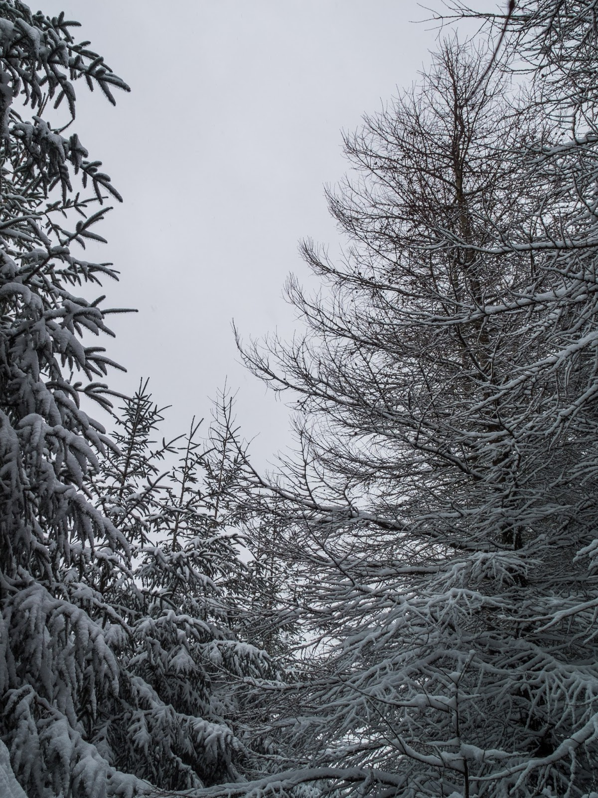 Snow covered pine trees in an opening inside a forest.