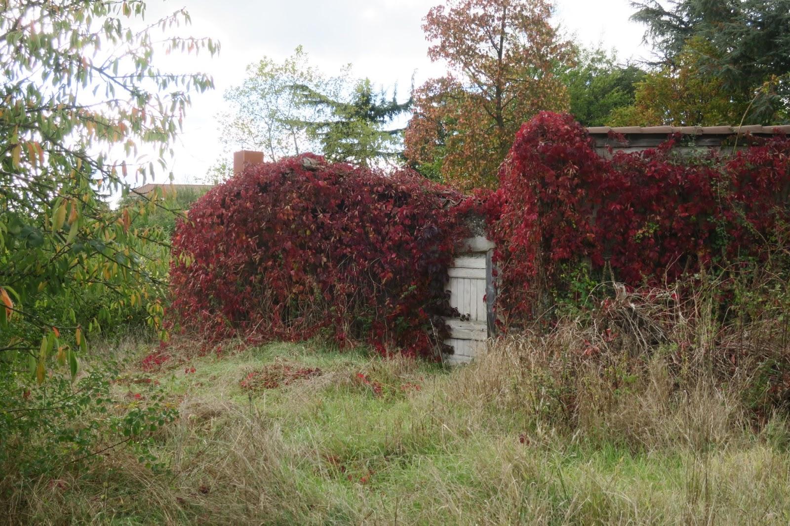 feuilles de lière rouge automne