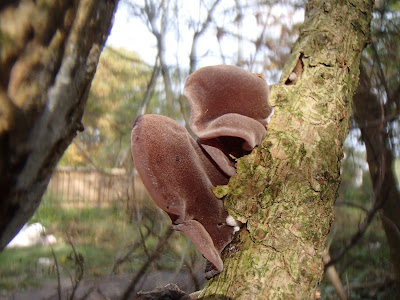 grzyby 2016, grzyby w październiku, grzyby zimowe, Uszak-bzowy-Auricularia-auricula-judae, maślanka-wiazkowa-Hypholoma-fasciculare, gasowka-mglista-Lepista-nebularis