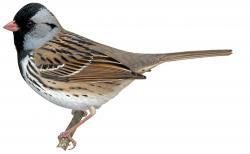 Harris´s Sparrow