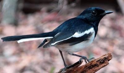 Manpaat Pemberian Orong-orong Untuk Mengatasi Burung Kacer Yang Kurang Ngotot Pada Saat Di Lombakan