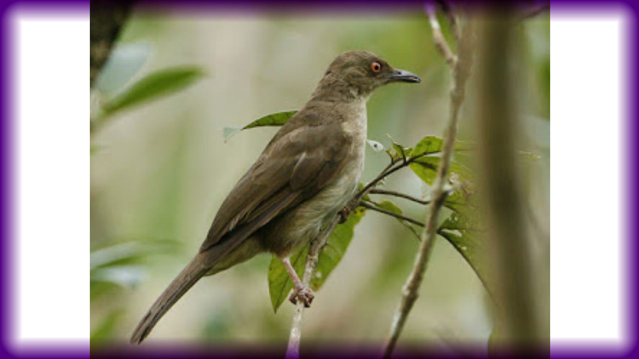 Cara Terbaik Membedakan Burung Trucukan Jantan Dan Betina