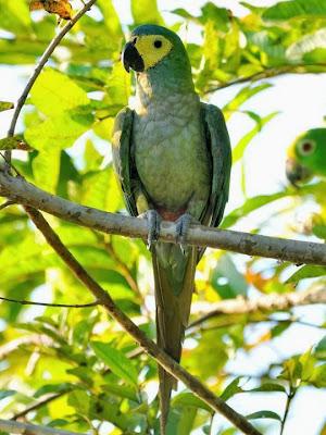 Guacamayo vientre rojo: Orthospittaca manilata