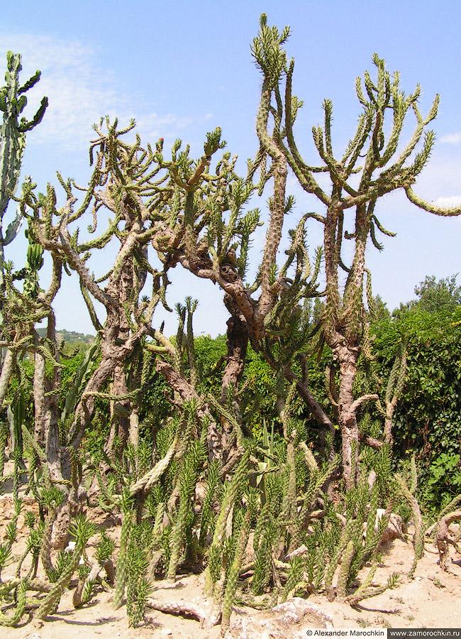 Кактусовые в Ботаническом саду Балчика (Болгария)