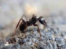 Seberapa Panjang Sarang Semut Terbesar Di Dunia ?
