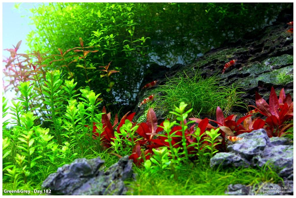 Màu đỏ bắt mắt của cây thủy sinh huyết tâm lan mini