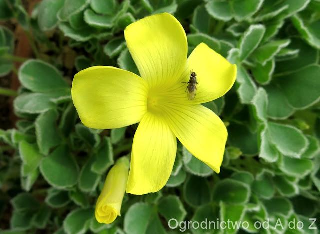 Oxalis speciosa