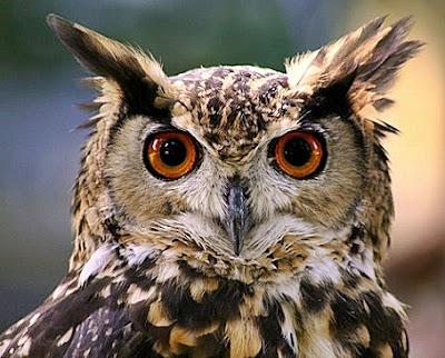 Cara Mengusir Burung Hantu Dari Rumah Burung Walet