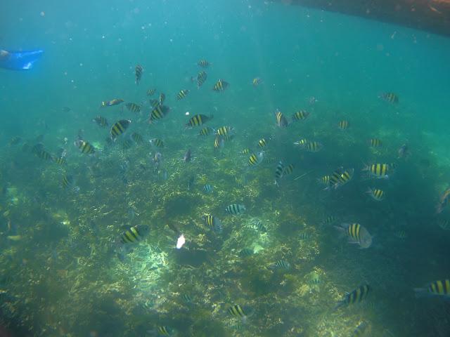 ikan betok di pulau pahawang