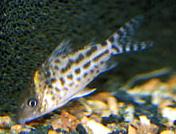 Jenis Ikan Corydoras incolicana