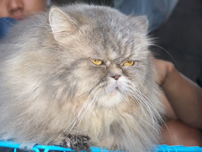 Jenis Kucing Persia Flatnose