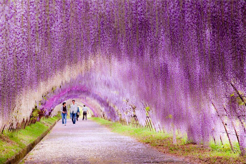 5. Kawachi Fuji Garden, Japan - 5 Sights So Incredible You Won't Believe They're Real