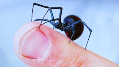 Advierten que las picaduras de arañas pueden ser mortales