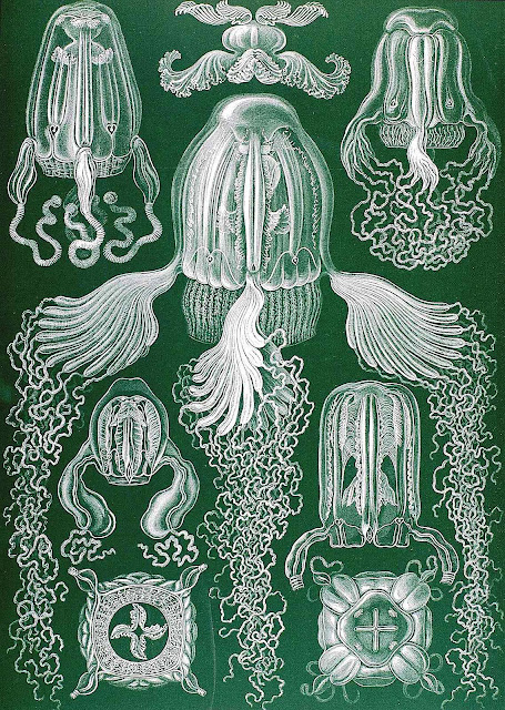 Ernst Haeckel color illustration of various jellyfish