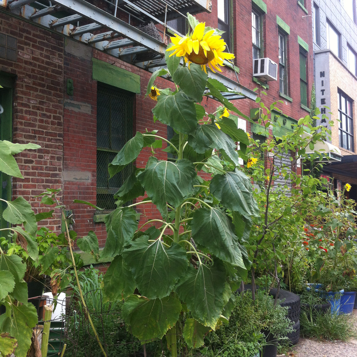 Sunflower in New York City