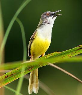 Suara Burung Prenjak Tebu
